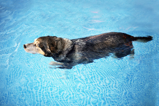Old Dog Swimming in Backyard Swimming Pool for Exercise and Rehabilitation from an Injury