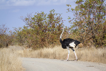African Ostrich in Kruger National park, South Africa ; Specie Struthio camelus family of Struthionidae