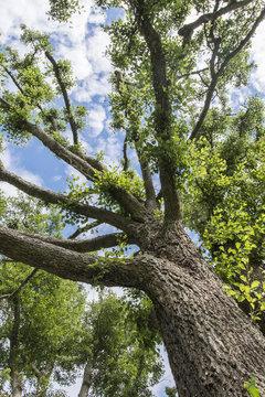 Crown of alder tree.