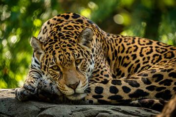 Foto op Aluminium Luipaard Leopard liegt auf einem Felsen