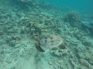 Green turtle, Ari Atoll, Maldives