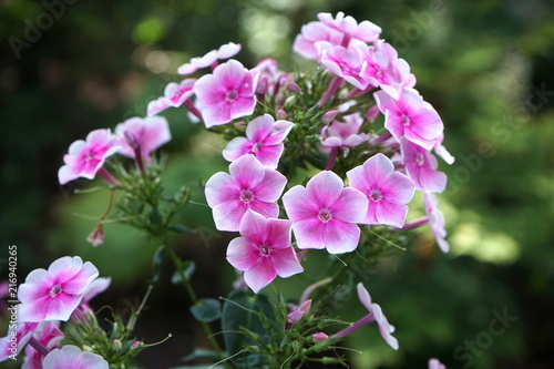 Pink White Flowers In The Shadow Of A Tree Stock Photo And Royalty