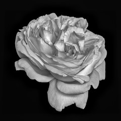 Monochrome fine art still life floral macro flower image of a single isolated white rose blossom withz vein and stripes, black background,detailed texture,vintage painting style