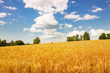 Kornfeld mit Blauem Himmel