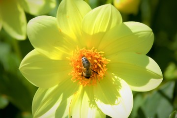 Bee collects POLLEN FROM YELLOW bloom.Bee pollinates a yellow flower.Yellow flower in the summer sun with small bee.