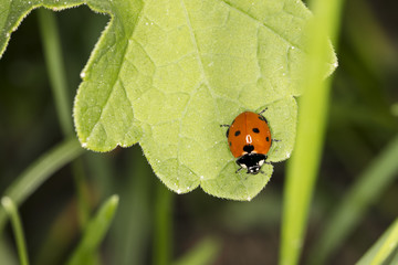 little red ladybird with black dots sitting on a big green leaf, close up