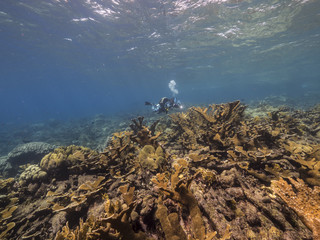 Seascape of coral reef / Caribbean Sea / Curacao with elk horn coral, various hard and soft corals, sponges and sea fan