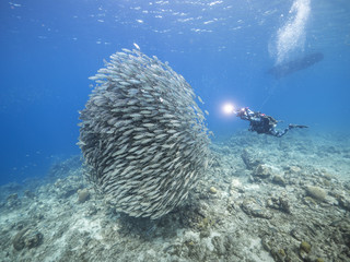 Bait ball in coral reef of Caribbean Sea at scuba dive around Curacao /Netherlands Antilles