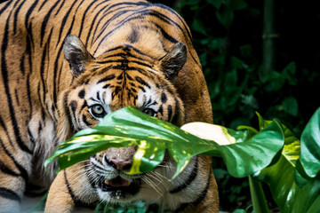 Bengal Tiger is looking at you.