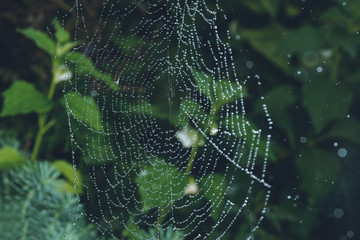 Spider web with water drops. Selective focus with shallow depth of field.
