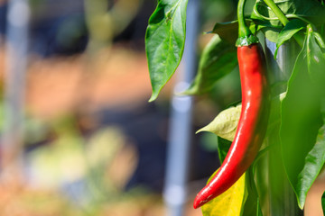 Canvas Prints Hot chili peppers Spicy chili of korea