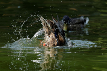 A duck dives to clean its feathers in a pond in central Vienna