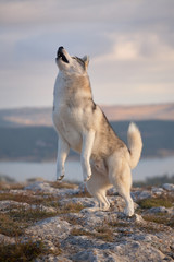 A magnificent gray Siberian husky jumping for a treat on a rock