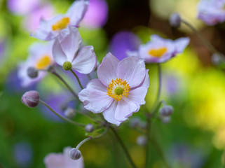 Pastel color outdoor floral image of a blooming autumn anemone blossom with buds taken on a sunny summer day with natural blurred background in impressionistic painting style