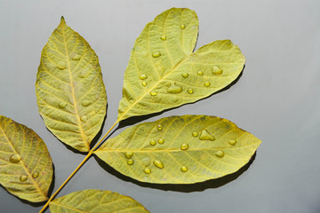 Autumn season background, green ash leaf with drops