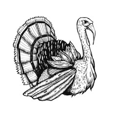 Illustration with turkey. Graphic drawn bird. Engraving style. Good for the cards to Thanksgiving day.