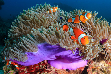 Wall Mural - A family of beautiful False Clownfish in their host anemone on a tropical coral reef