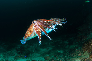 Wall Mural - A pair of beautiful Cuttlefish mating on a dark coral reef at dawn