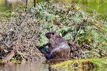 Beaver working on beaver lodge in Ontario, Canada.