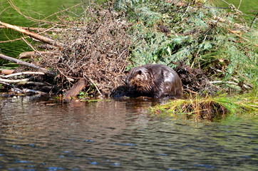 Beaver working on beaver lodge in Ontario, Canada.