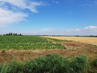 Potato field in the Wilde Veenen polder in Waddinxveen the Netherlands.