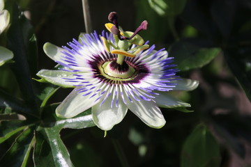 Passiflora flower in detail with flowerhead along the street in Nieuwerkerk aan den IJssel, the Netherlands.