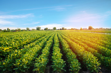 Canvas Prints Culture potato plantations grow in the field. vegetable rows. farming, agriculture. Landscape with agricultural land. crops