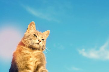 gray cat on a blue background in sunlight. cat in the sky. a pet. beautiful kitten. place for text. copyspace