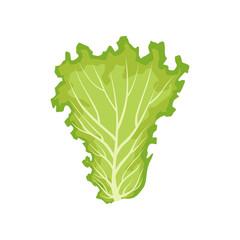 Lettuce leaf, vegetarian healthy food, organic leafy vegetable for cooking vector Illustration on a white background