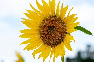 Sunflower of Akebono Agricultural Park in Kashiwa City, Chiba Prefecture, Japan / Akebono Agricultural Park is public park in Kashiwa city, Chiba, Japan
