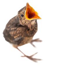 freigestellter junger Vogel mit offenem Schnabel bettelt oder ruft etwas