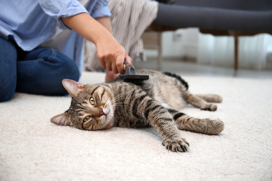 Woman brushing her cat while it resting on carpet at home