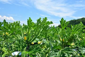 Zucchini's field