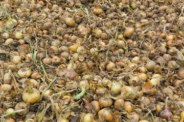 Fresh yellow onion background in large quantity on a vegetable farm in stock. Top view.