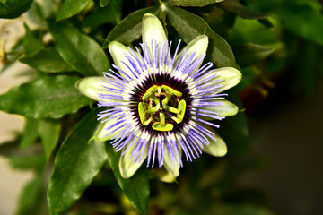passion flowers or passion vines with green leaf.