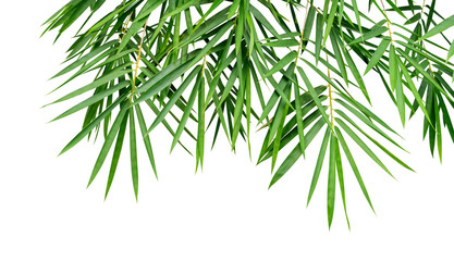 Tropical plant green bamboo leaves isolated on white background, nature backdrop, clipping path...