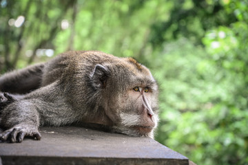 Portrait of a monkey in Sacred Monkey Forest