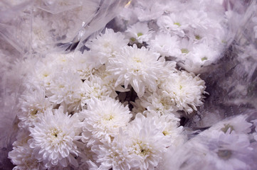 White chrysanthemums in a flower shop. A bouquet of chrysanthemums. Chrysanthemum Flower. White flowers.