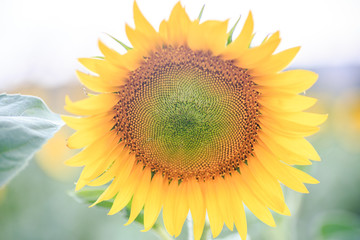 close-up view of yellow sunflower