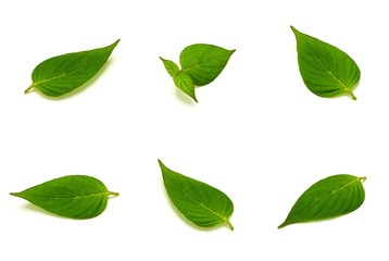 Fototapete - collection of green leaves isolated on white background.