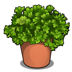 Lush bush of parsley in a pot. Herbs for cooking isolated on white background. Vector cartoon close-up illustration.