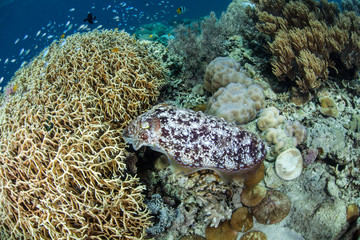Cuttlefish Laying Eggs in Colony of Fire Coral