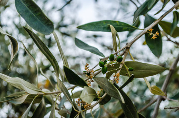 Immature fruits of the olive tree