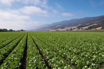 Rows of lettuce in the Salinas Valley of central California in Monterey County