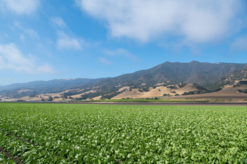 A field of lettuce in the Salinas Valley of central California in Monterey County - America's Salad Bowl