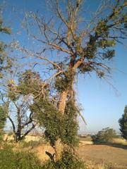 Árbol muerto con planta trepadora