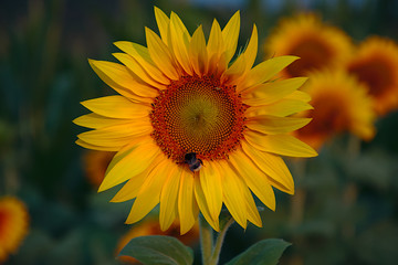 Sunflower with bumblebee in the morning light