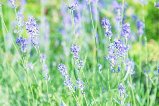 Lavender violet flowers on field at sunset