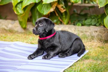black labrador puppy on the grass