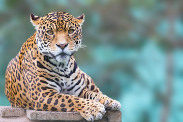 Poster Luipaard leopard looking at camera